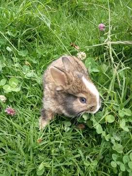 Hermosos Conejos Cabeza de León