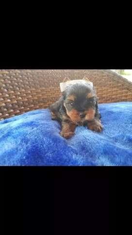 Bellos cachorritos raza yorkshire terrier