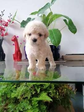 French poodle mini toys lista para entregar de 48