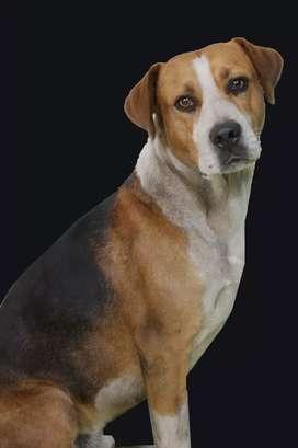 Hermoso perro dogo  español 11 meses en adopcion