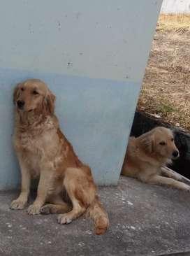 Golden Retriever - Cachorros
