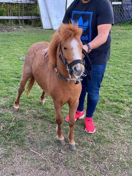 Pony macho castaño