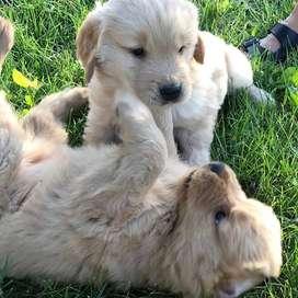 disponibles lindos perritos de 49 días de antigüedad con entrega inmediata