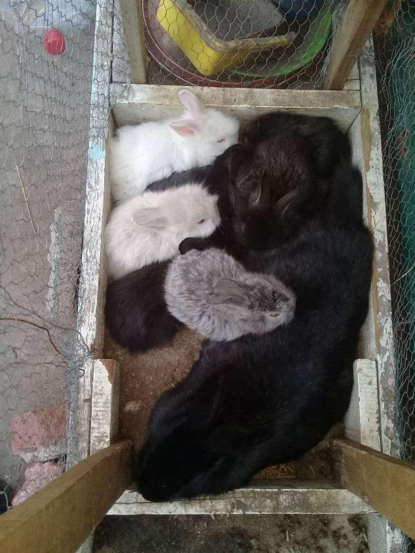 Vendo conejitos Cabeza de leon para mascota. 0