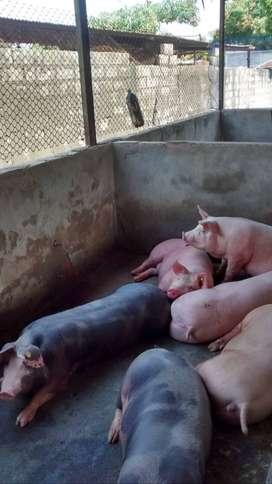 venta de Cerdos kg  en pie.