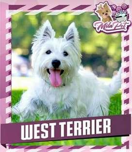 West Terrier  Hermosos 100% PUROS