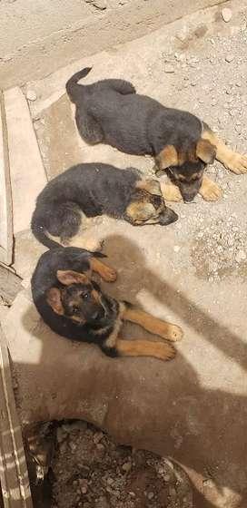 Lindos cachorros pastor aleman