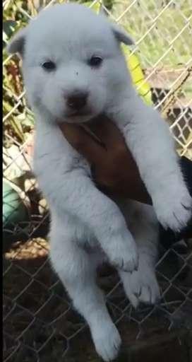 Bonitos cachorritos de lobos siberiano blanco excelente genética