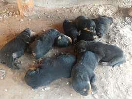 Vendo Cachorros de Rottweiler