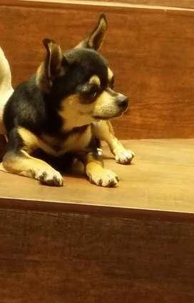Hermoso Chihuahua para Monta