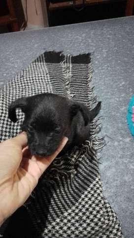 perritos pequeños en venta