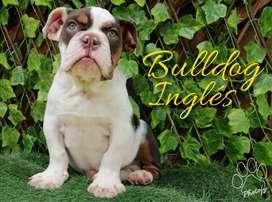 Bulldog inglés buen precio
