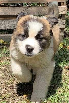 hermoso cachorro sanbernando con todas las vacunas al dia como mas de 30 dias de nacidos servicio contra entrega
