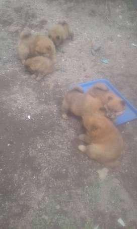 hermosos cachorros de raza chaw chaw de buena genética dispongo de hembras y machos