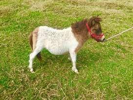 Vendo hembra pony