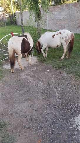 Pony peñada