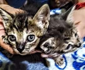 Regalo 2 gatitos