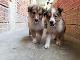 Hermosos cachorros pastor collie (Lassy)