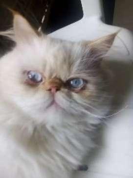 Disponible gato persa  imalallo para monta
