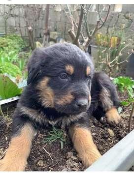 #2. Rottweiler para entrega inmediata