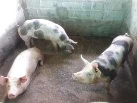 Venta de cerdos en pie o canal