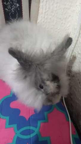 Coneja cabeza de león 4 meses