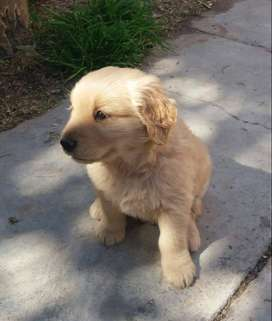 Hermosos Cachorros Golden Retraiver
