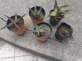 Plantines Aloe Vera