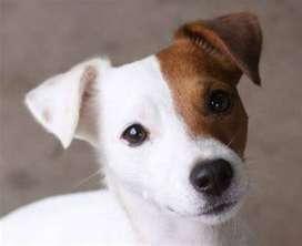 local petshop ofrece mascota raza pequeña jack russell de 45 dias