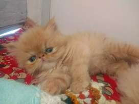 Gatos persa extremos
