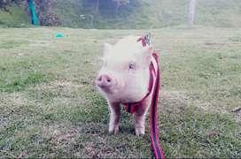Venta de cerdito mini pig