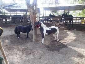 Lindos pony hembra embarazada