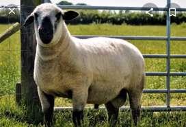 Corderos consumo o cría cara negra