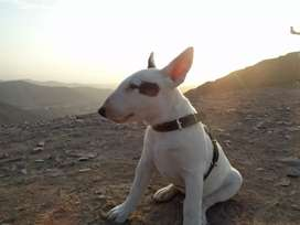 Servicio de monta Mini Bull terrier macho