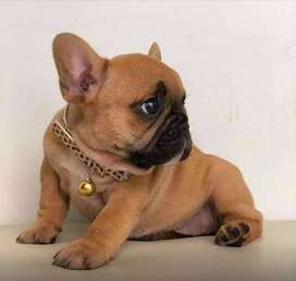 bulldog frances criadero venta (55 DIA DE EDAD)
