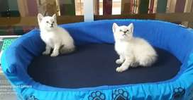Siames gatitos