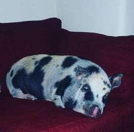 Vendo cerdo minipig de 7 meses de edad.