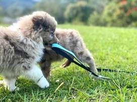 Espectaculares Cachorros Border Collie Mascotas Rionegro