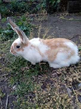 Venta conejos gigantes