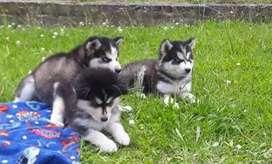 Huskys siberianos lobos a la venta disponibles