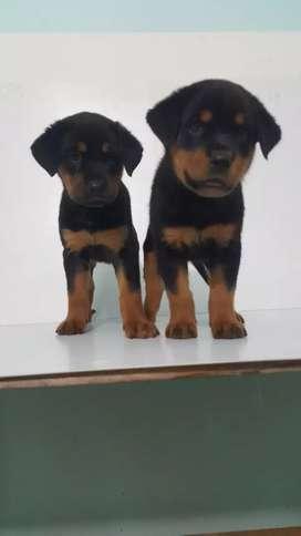 Rottweiler Alemán de Gran genética y pureza total 56 días de nacidos Los cachorros
