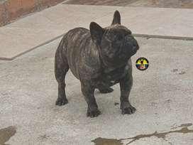 Bulldog frances servicio de monta