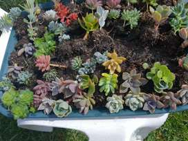 Suculentas y más para tus espacios tu jardines