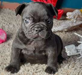 bulldog francés edad 45 días