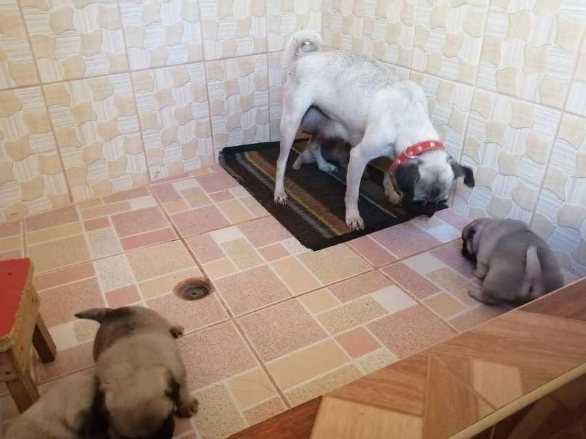 Ofrecemos monta de bulldog frances pug 0