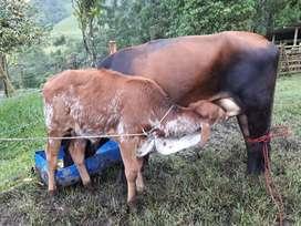 Vendo o cambio por vaca de mi interés