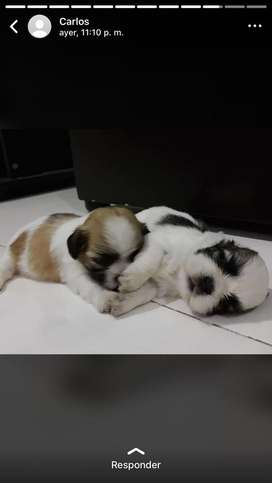 Hermoso cachorro zhit su