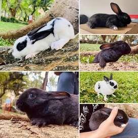 Conejos Mini Rex Antialergicos
