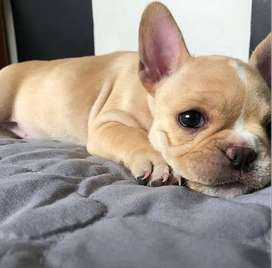 Enctandores y tiernitos bulldog frances gordotes. 47 dias de vida