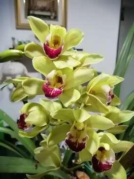 Orquídea cymbidium verde menta flor pequeña y pico rojo